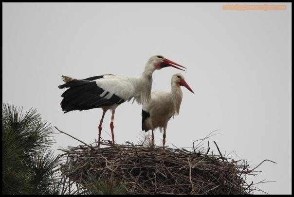 Pareja de cigüeñas en el nido (20-3-2015)