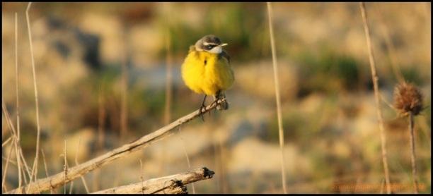 Lavandera boyera con su fuerte color amarillo (13-4-2015)