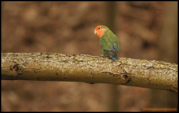 Lorillo en una rama (15-4-2015)