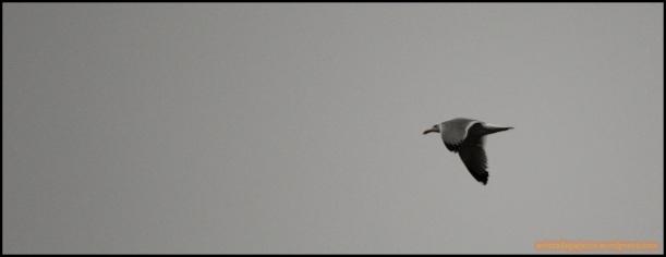 Gaviota patiamarilla en vuelo (20-3-2015)