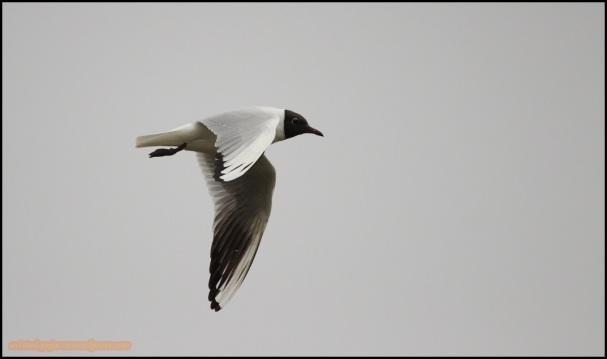 Gaviota reidora en vuelo (20-3-2015)