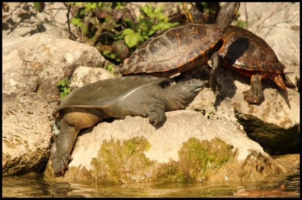 Tortuga exótica en el lago de Mendillorri (19-4-2015)
