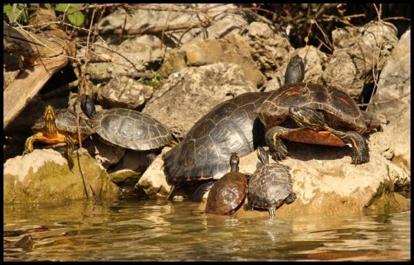 Tortugas de diferentes tamaños (19-4-2015)