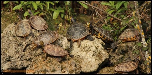 Tortugas exóticas (19-4-2015)