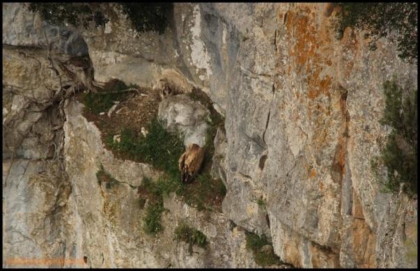Buitre leonado en nido (2-5-2015)