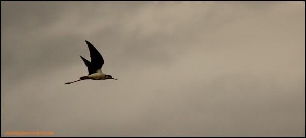Cigüeñuela en vuelo (2-5-2015)