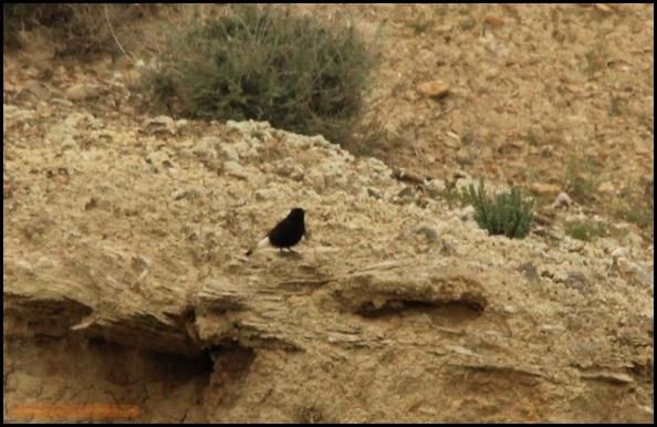 Collalba negra (2-5-2015)