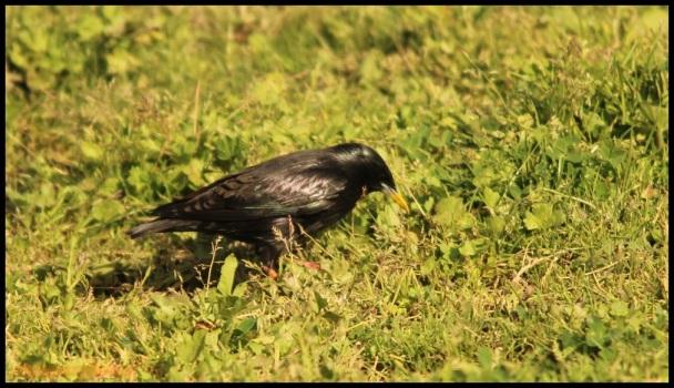 Estornino negro picoteando en el suelo (25-4-2015)
