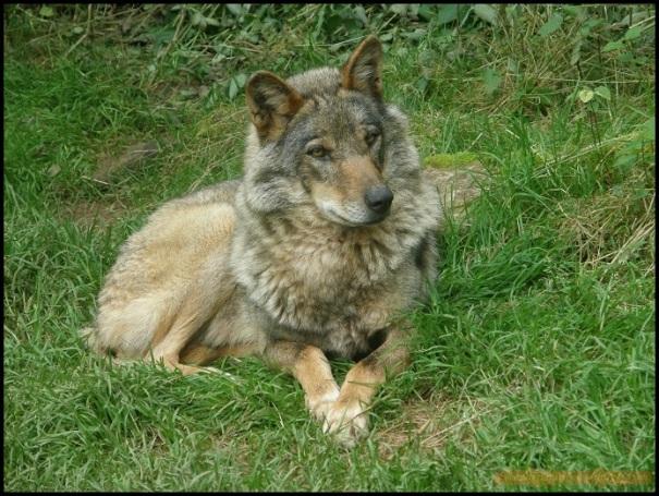 Lobo descansando (26-6-2010)