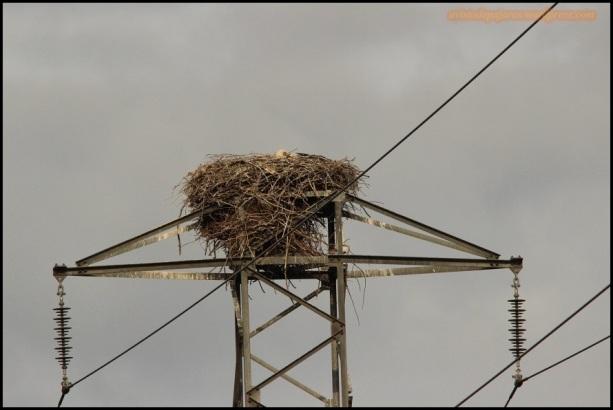 Cigüeña en el nido (25-4-2015)