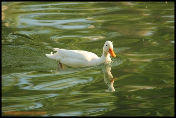 Azulón albino (30-4-2015)