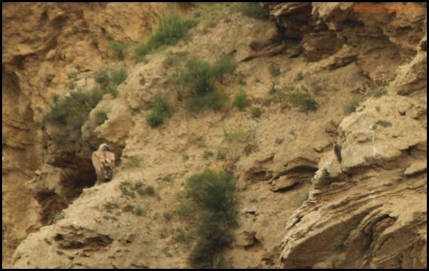 Halcón peregrino muy cercano a buitre leonado (2-5-2015)