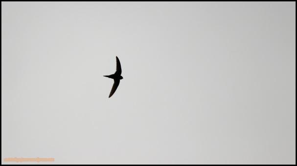 Vencejo en vuelo (23-5-2015)