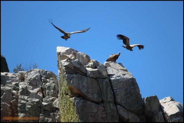 Buitres leonados echando a volar (26-5-2015)