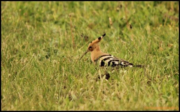 Abubilla entre la hierba (17-6-2015)
