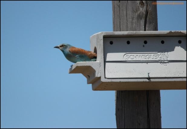 Carraca en caja nido (28-5-2015)