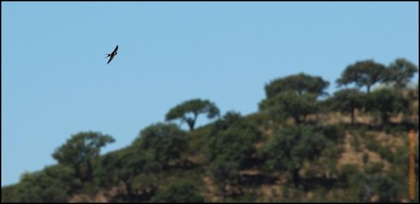 Golondrina daúrica en vuelo (26-5-2015)