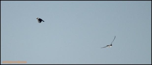 Pareja de elanios en vuelo (28-5-2015)