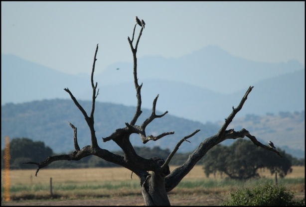Elanios posados en un árbol (28-5-2015)
