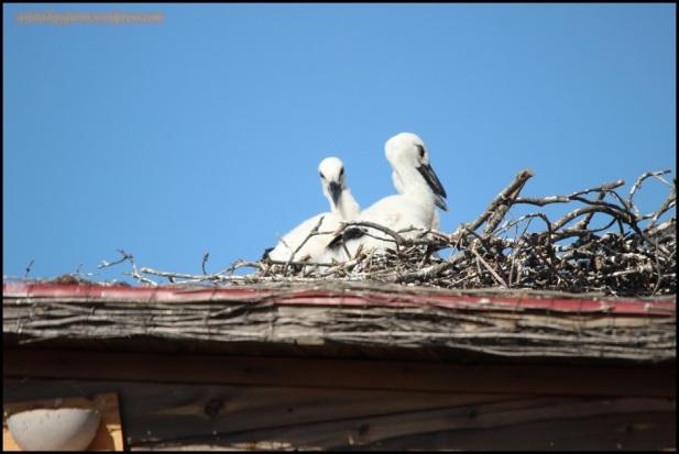 Pareja de polluelos en el nido (28-5-2015)