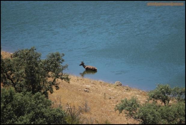 Ciervo refrescándose en el río (26-5-2015)