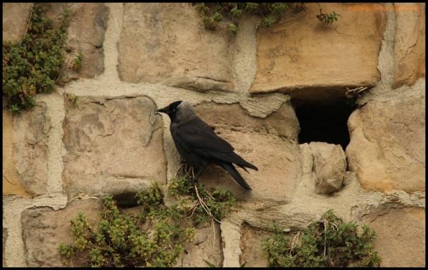 Grajilla posada en la pared seguramente en la entrada de su nido (17-6-2015)
