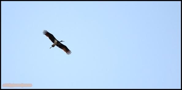 Cigüeña negra en vuelo (26-5-2015)