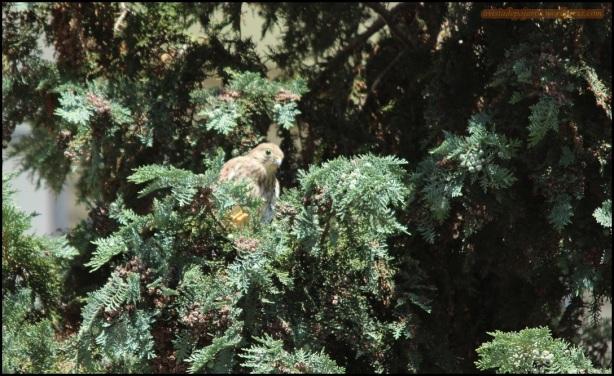El polluelo entre las ramas (20-6-2015)