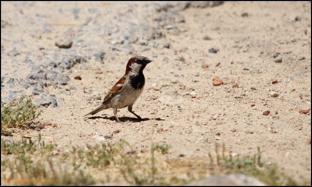 Gorrión común (27-5-2015)