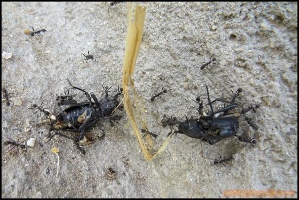 Hormigas (28-5-2015)