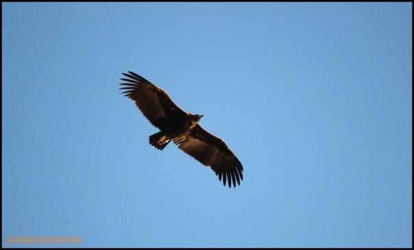 Buitre negro (27-5-2015)