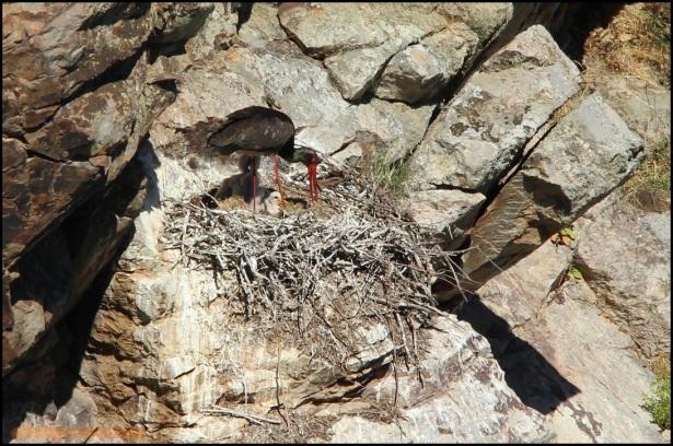 Adulto con sus polluelos (26-5-2015)
