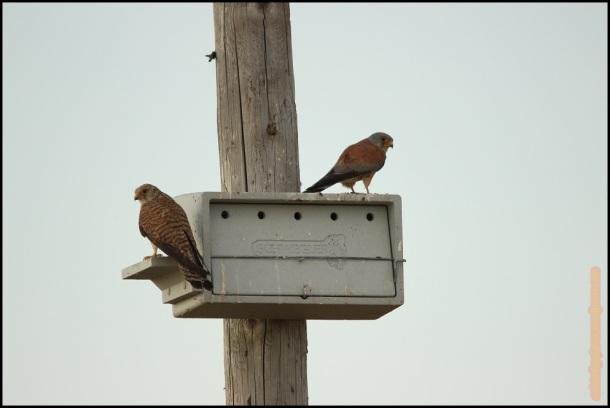 Pareja de cernis en caja nido (28-5-2015)