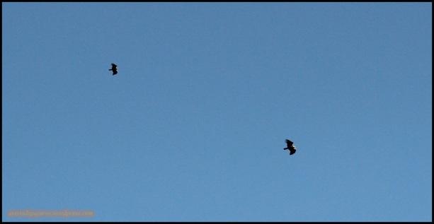Pareja de imperiales volando juntas (27-5-2015)