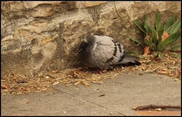 Pichón de paloma en el suelo un poco torpe (17-6-2015)