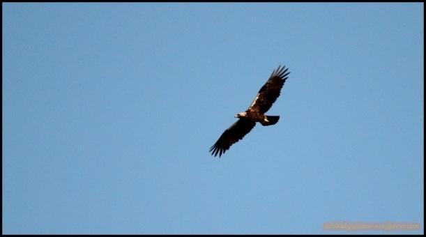Águila imperial ibérica planeando (27-5-2015)