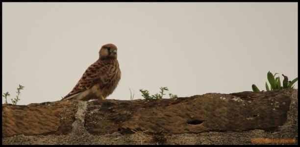 Polluelo en lo alto de la muralla (17-6-2015)