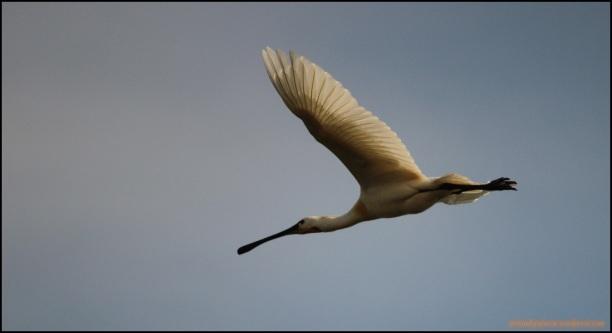 Espátula volando (29-5-2015)