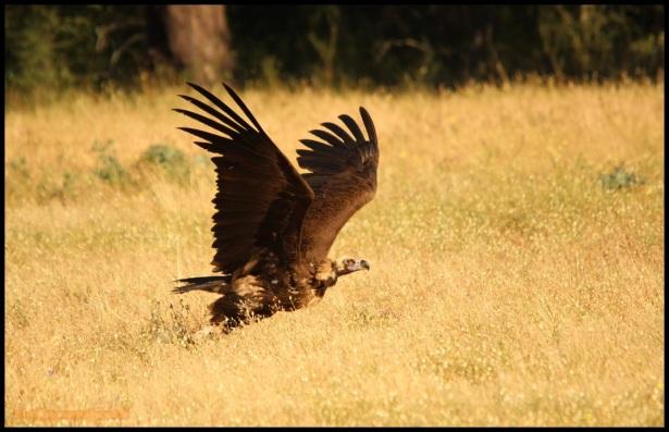 Buitre negro alzando el vuelo (27-5-2015)