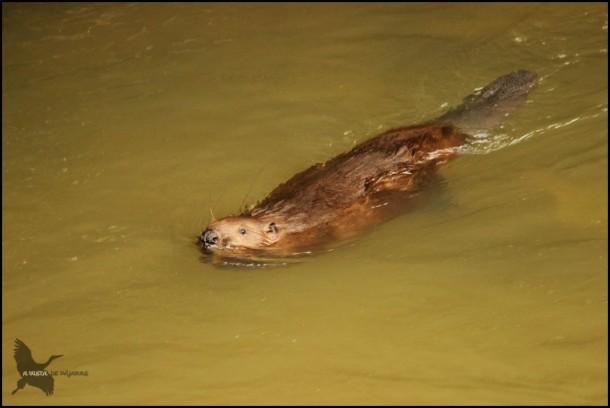 Castor nadando muy cerca de la superficie (27-7-2015)