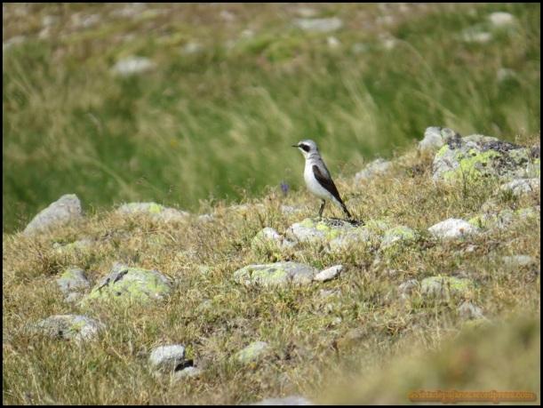 Collalba gris (15-7-2015)