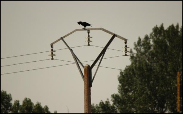 Cuervo graznando desde lo alto de una torreta (29-6-2015)