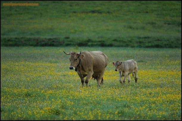 Vaca y ternero caminando (24-6-2015)