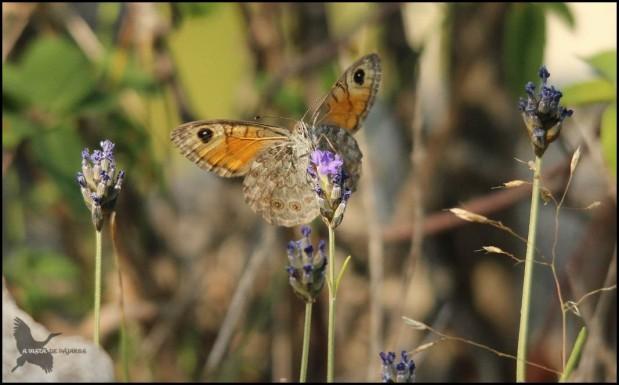 Mariposa dándole al polen (16-7-2015)