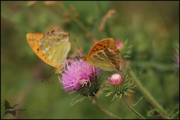 Pareja de mariposas (17-7-2015)