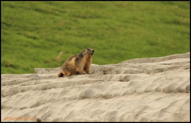 Marmota francesa (22-6-2015)