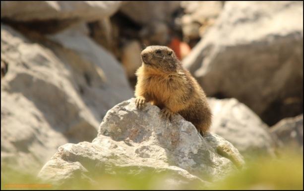 "Marmota ""navarrica"" (22-6-2015)"