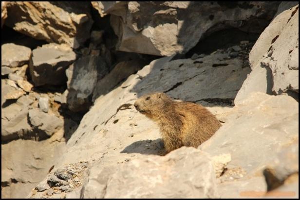 Marmota entre rocas (22-6-2015)