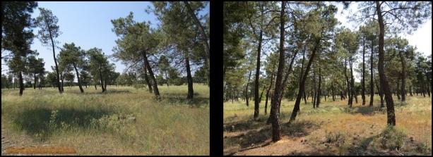 Diferentes zonas de pinar (29-6-2015)