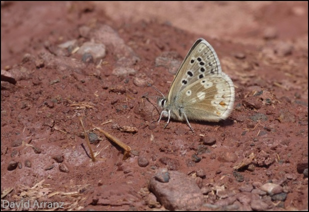 Pseudophilotes baton (24-6-2015); David Arranz